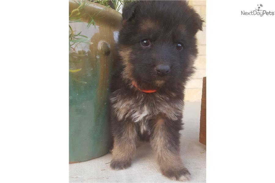Orange German Shepherd Puppy For Sale Near San Antonio Texas