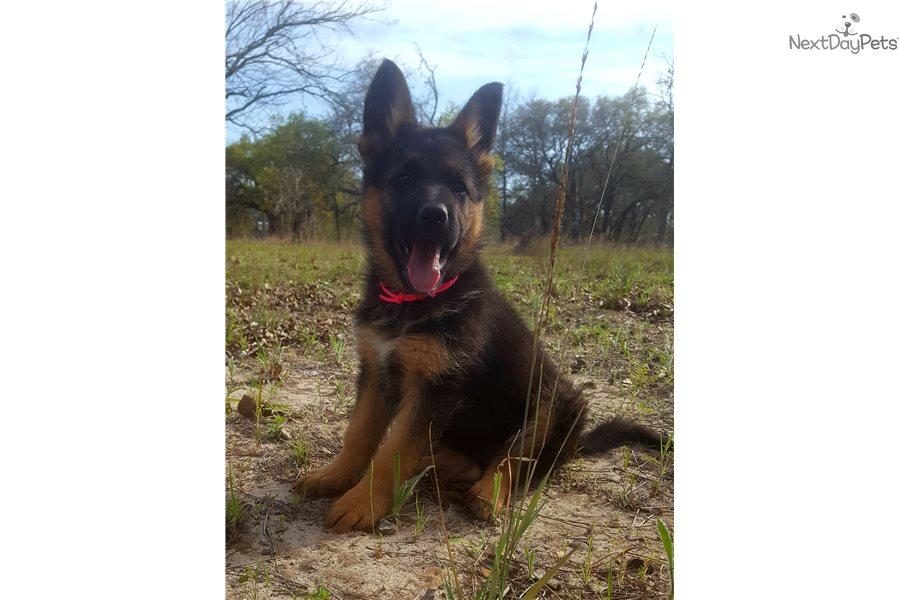 Hot Pink German Shepherd Puppy For Sale Near San Antonio Texas