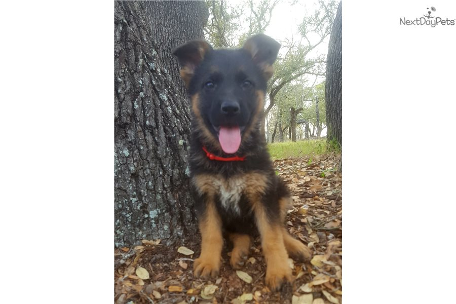 German Shepherd Puppy For Sale Near San Antonio Texas 1559bfcd 4e11