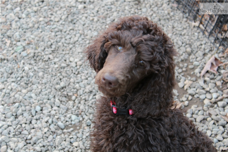 Sassy : Poodle, Standard puppy for sale near Albany, New