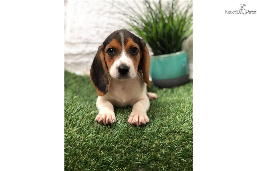 Beagle Beagle Puppy For Sale Near Fort Lauderdale Florida