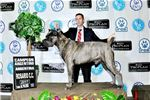 Picture of Cane Corso  for sale