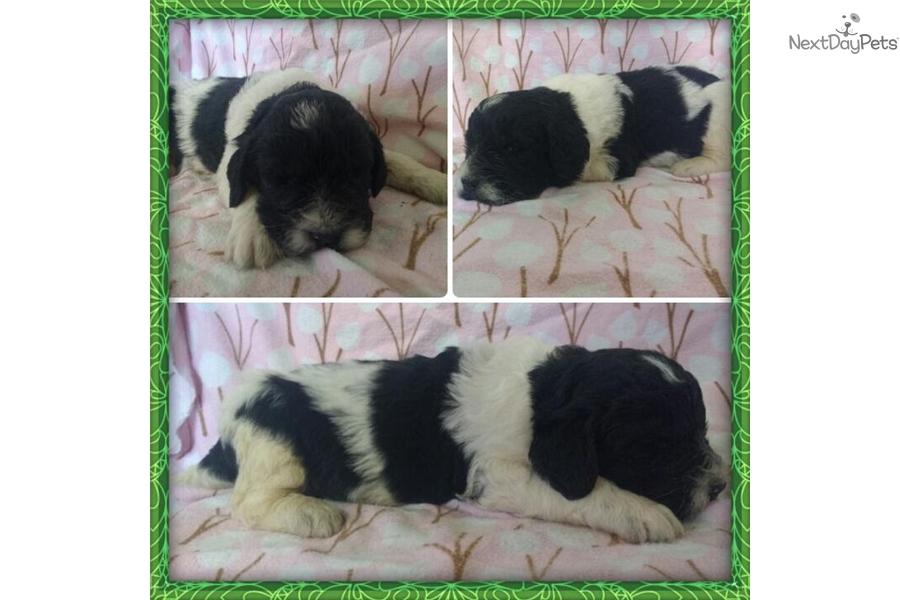 Linus: Newfoundland puppy for sale near Twin Falls, Idaho