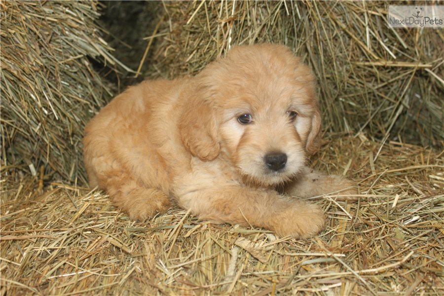 Puppies fort wayne indiana / Lubbock texas tourist attractions