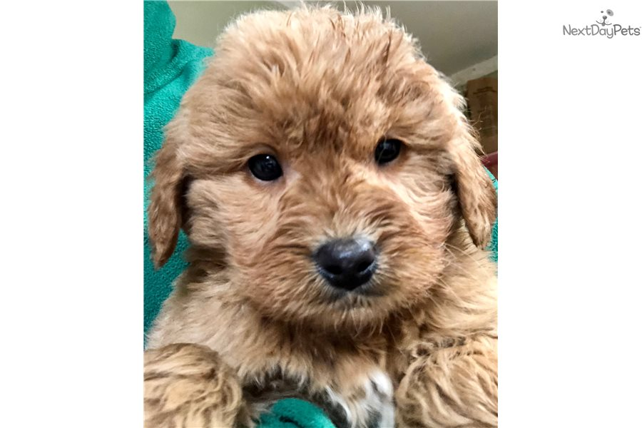 Steve Goldendoodle Puppy For Sale Near Fort Wayne Indiana