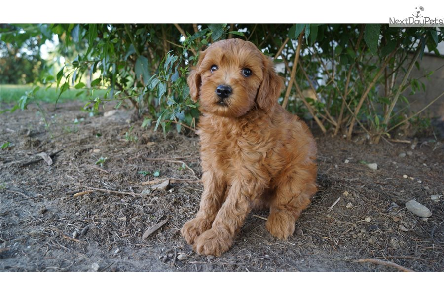 Stanley Goldendoodle Puppy For Sale Near Fort Wayne