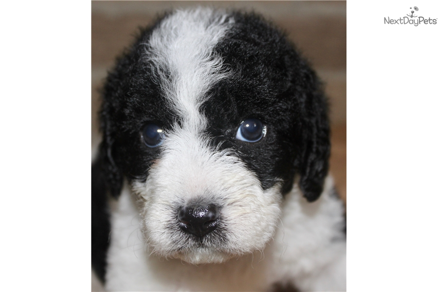 Wrigley Labradoodle Puppy For Sale Near Fort Wayne Indiana