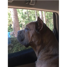 View full profile for Banner Mountain Cane Corso
