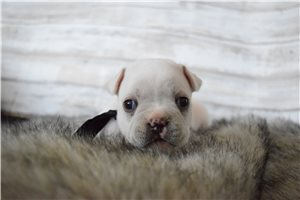 McLaren - French Bulldog for sale