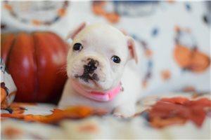 Petunia  - French Bulldog for sale