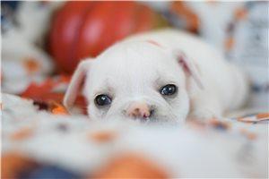 Tundra  - French Bulldog for sale
