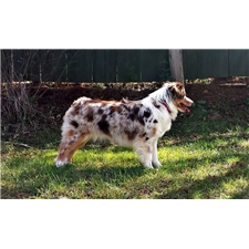 View full profile for Shiloh Creek Mini Aussies