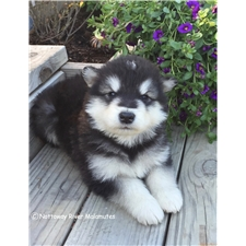 View full profile for Nottoway River Malamutes