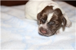Picture of a Wirehaired Pointing Griffon Puppy