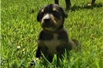 Greater Swiss Mountain Dogs for sale