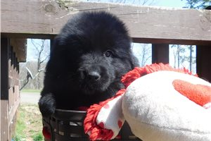 Picture of AKC Bear