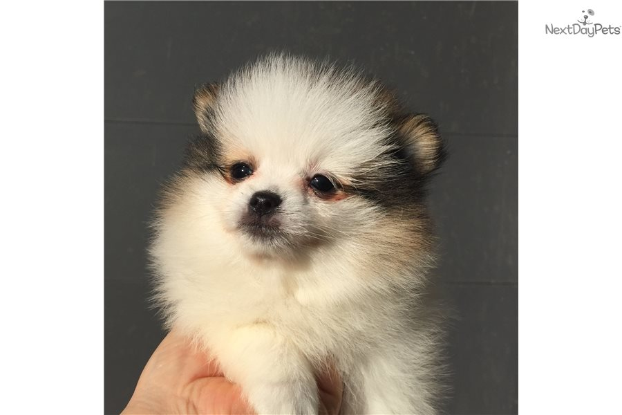 Pomeranian Puppy For Sale Near Dallas Fort Worth Texas 3f1364ed