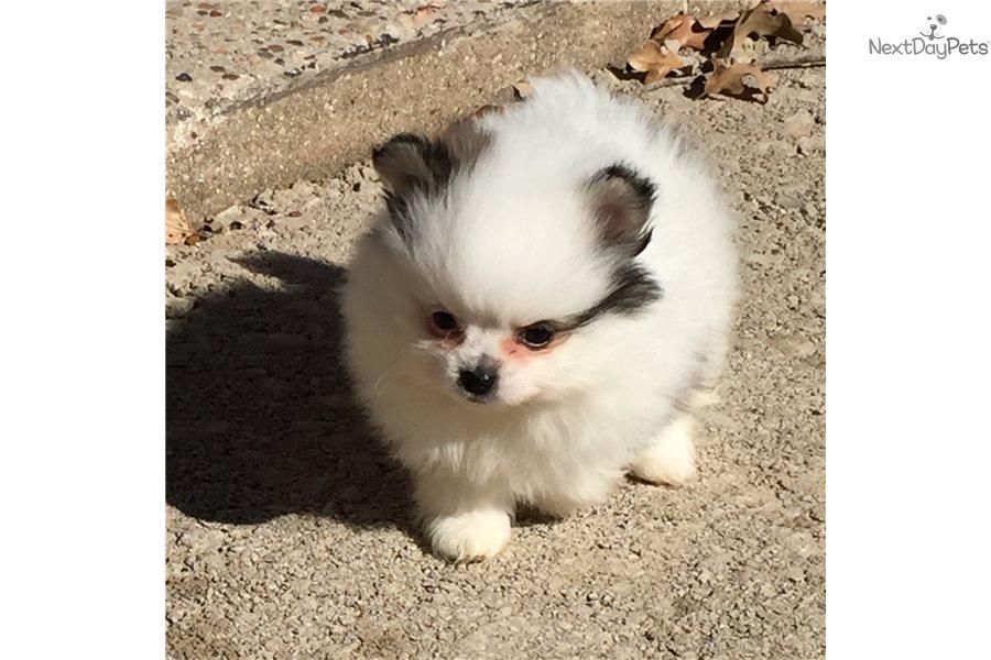 Pomeranian Puppy For Sale Near Dallas Fort Worth Texas 899eaab9