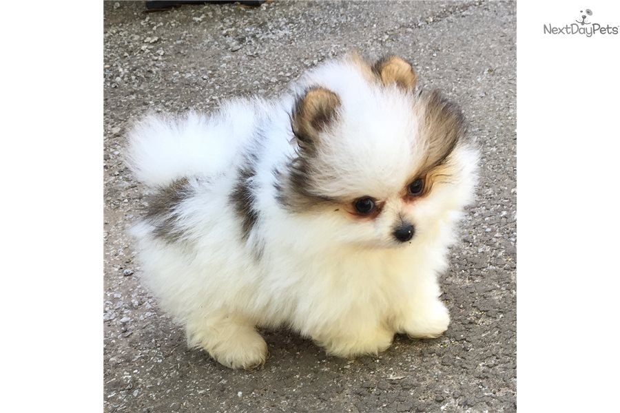 Lucky Pomeranian Puppy For Sale Near Dallas Fort Worth Texas
