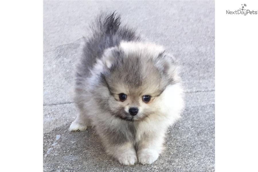 Pomeranian Puppy For Sale Near Dallas Fort Worth Texas Ff24d245