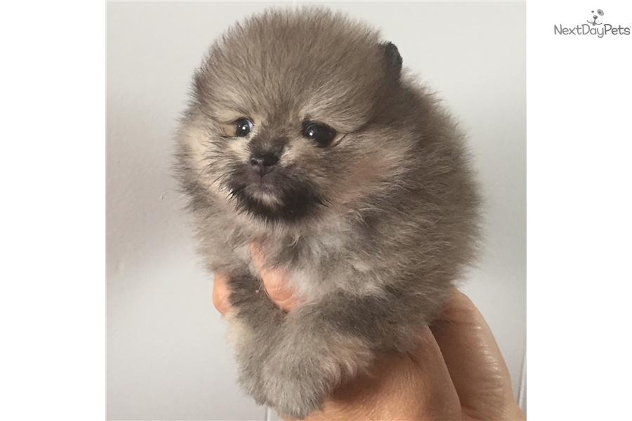 Sassy Pomeranian Puppy For Sale Near Dallas Fort Worth Texas