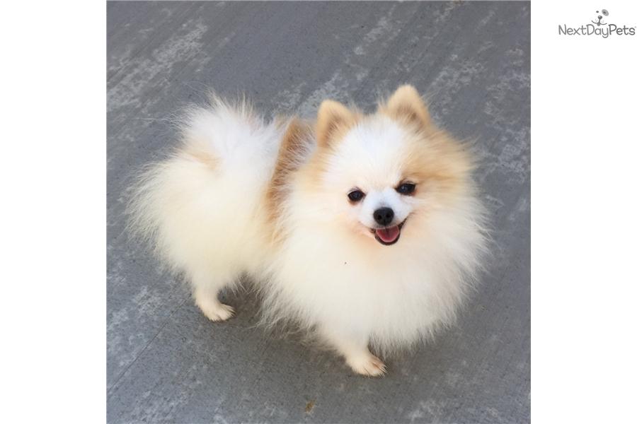 Pomeranian Puppy For Sale Near Dallas Fort Worth Texas B105414c