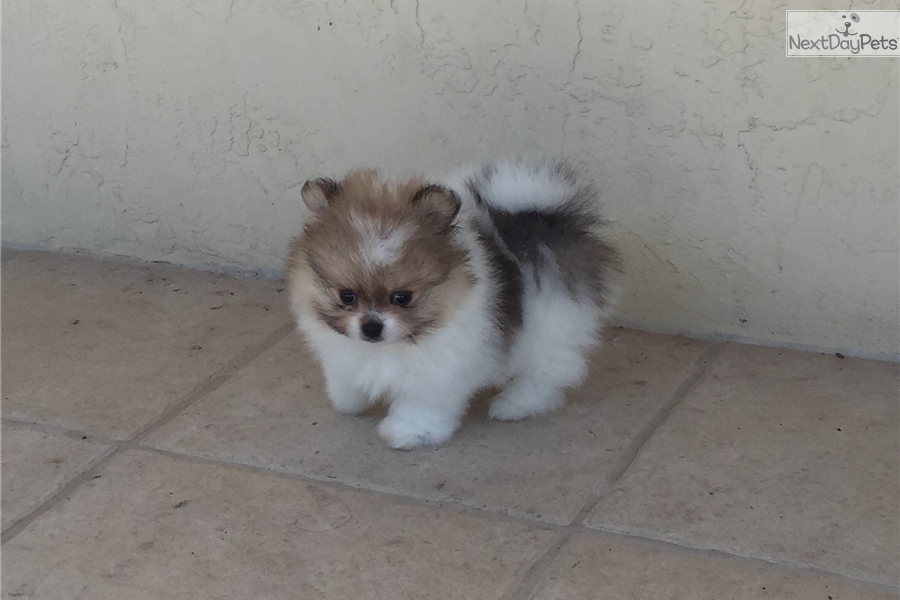 pomeranian groomer near me bigfoot pomeranian puppy for sale near south florida 4397