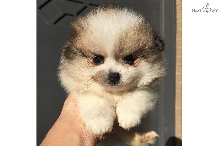 Pomeranian Puppy For Sale Near Dallas Fort Worth Texas 0886117e