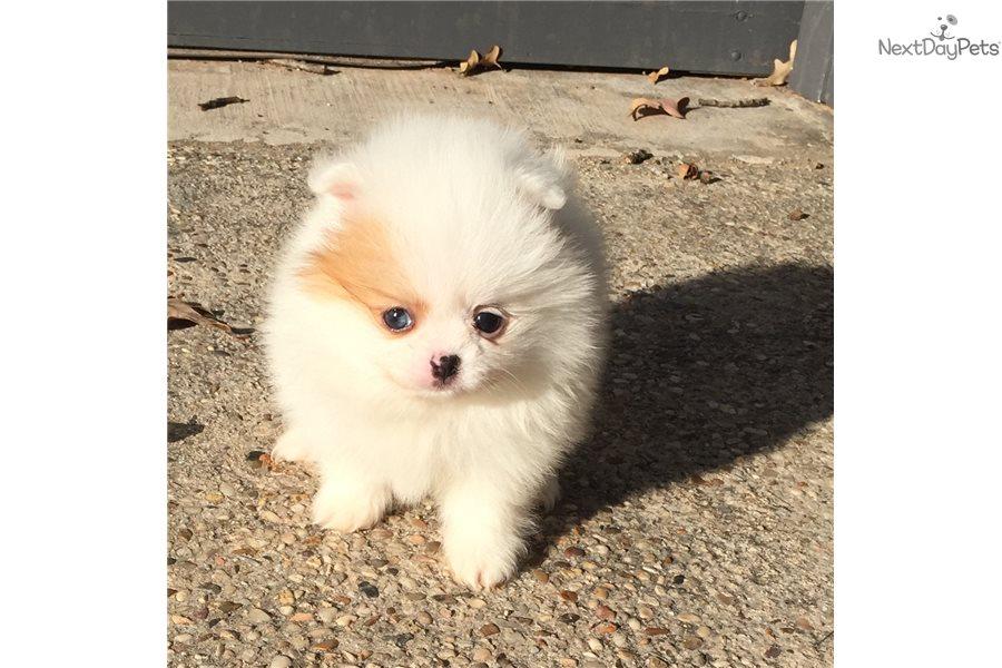 Pomeranian Puppy For Sale Near Dallas Fort Worth Texas 8f6eb5b0