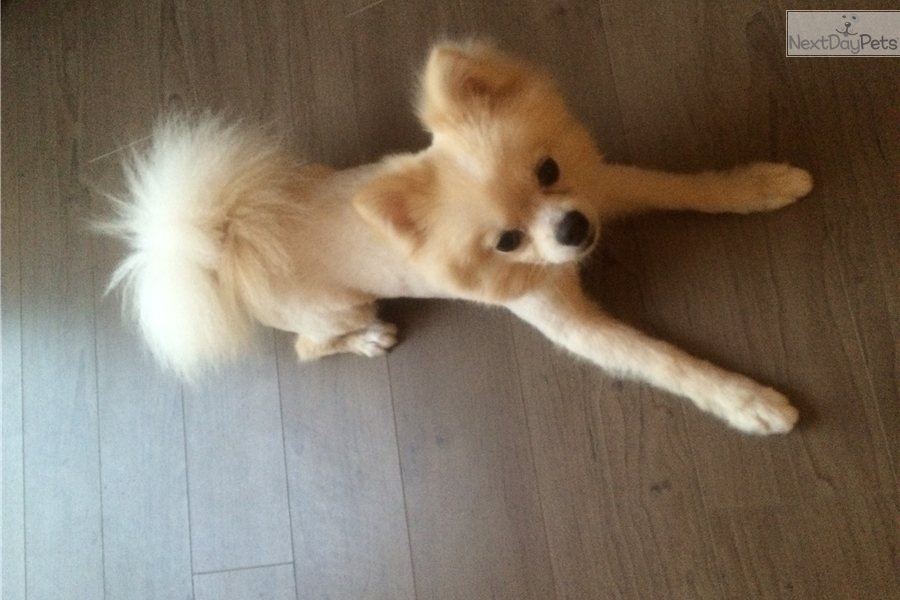 pomeranian puppies for sale in orange county pomeranian puppy for sale near orange county california 9746