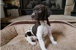 Picture of GSP male Champion Bloodlines