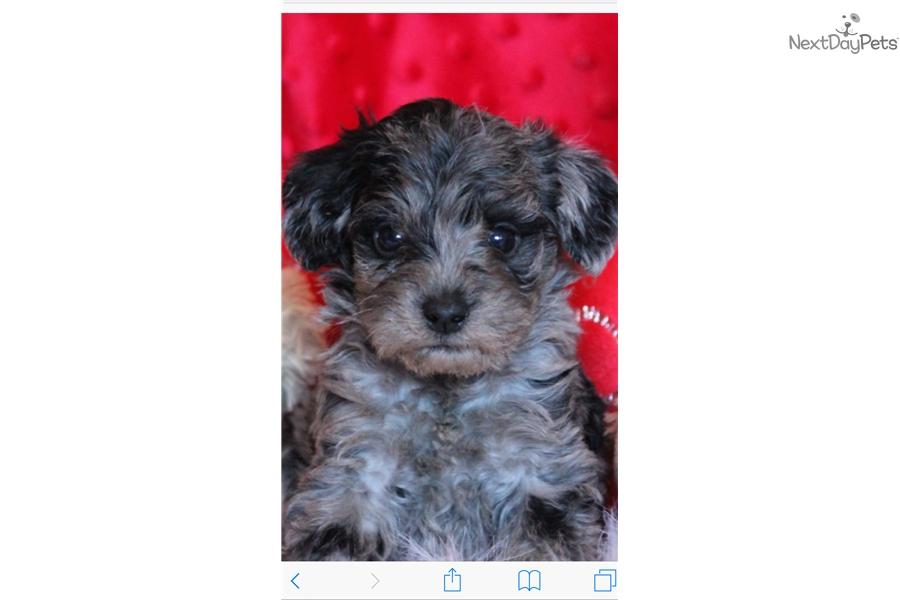 Doozer Schnoodle Puppy For Sale Near Des Moines Iowa 5dc9c3ce C741