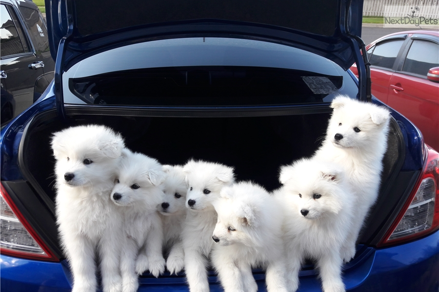 Samoyed puppy for sale near Salt Lake City, Utah | 91e4b913-eec1