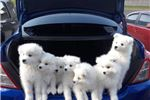 Picture of AKC Registered Samoyed Puppies born Feb 2018