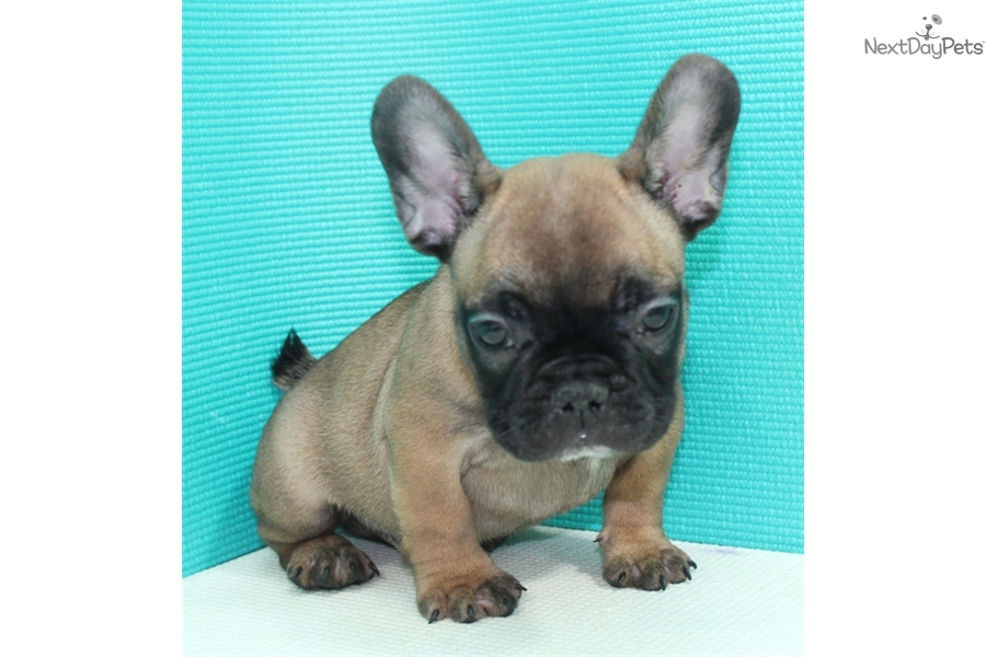 french bulldog puppies for sale long island akc ricky french bulldog puppy for sale near long island 6898