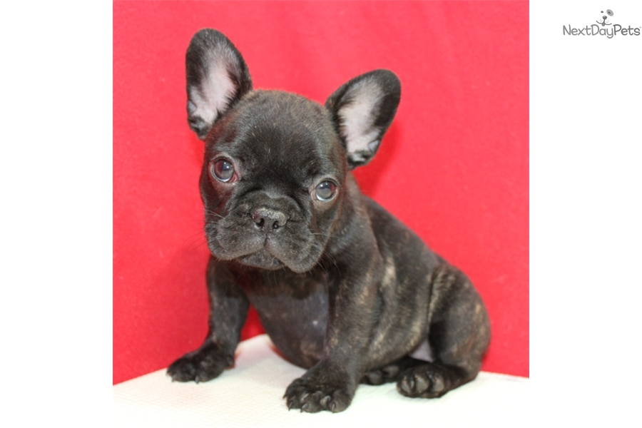 french bulldog puppies for sale long island french bulldog puppy for sale near long island new york 9399