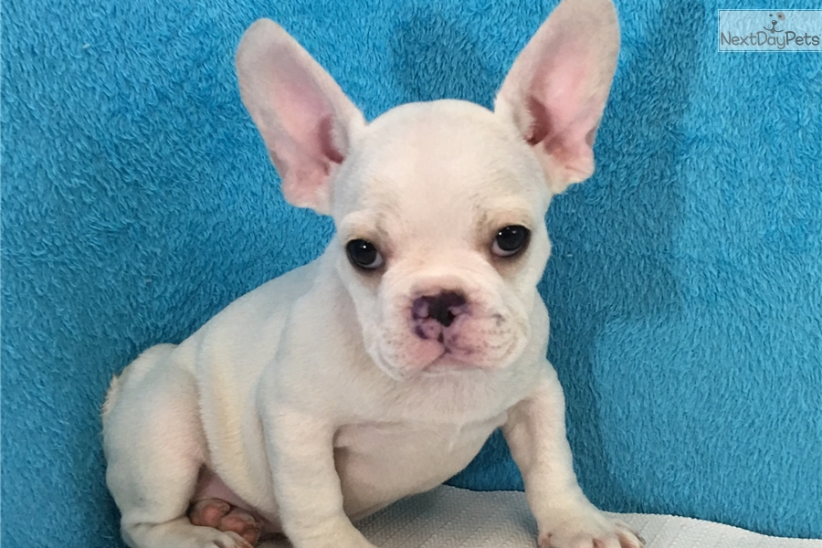 french bulldog puppies for sale long island french bulldog puppy for sale near long island new york 2086
