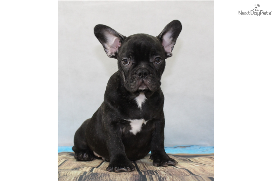 Top 12 Akc French Bulldog Puppies For Sale Ny - Gorgeous Tiny