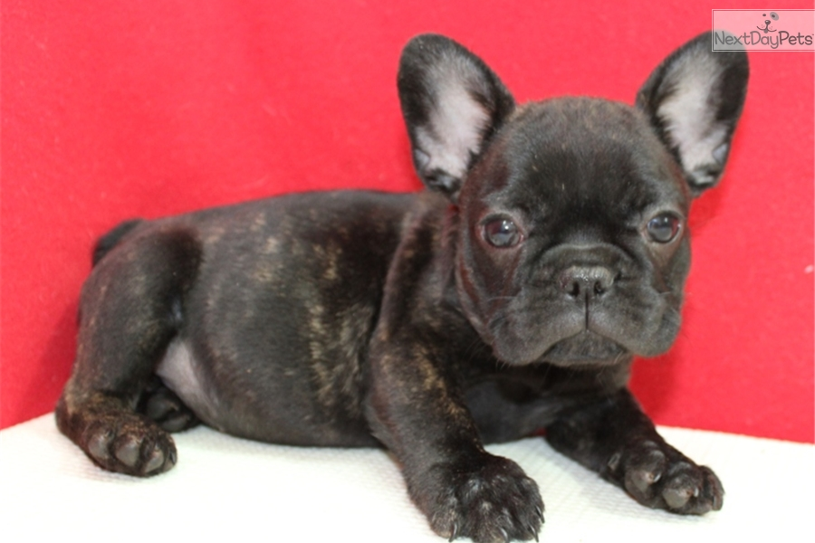 french bulldog puppies for sale ny french bulldog puppy for sale near long island new york 3667
