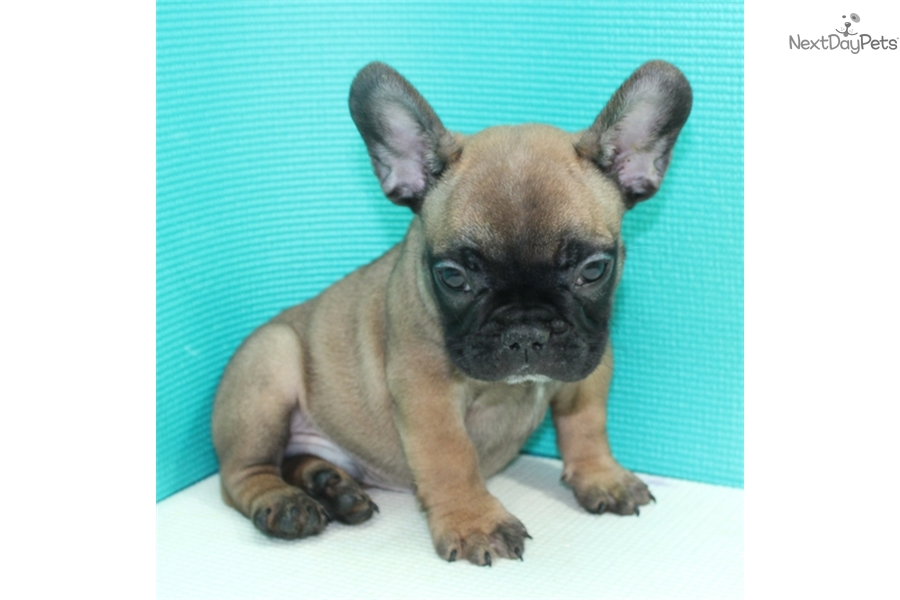 french bulldog puppies for sale long island akc ricky french bulldog puppy for sale near long island 228