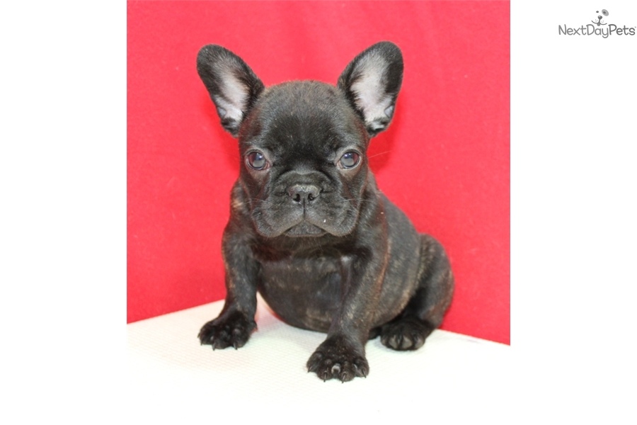 french bulldog puppies for sale long island french bulldog puppy for sale near long island new york 2139