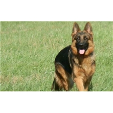 View full profile for Show-Me German Shepherds