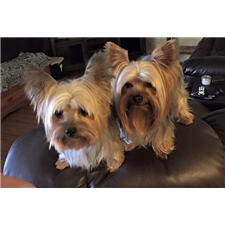 View full profile for Grandmama's Yorkies