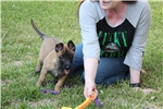 Picture of Import line Malinois Female working lines