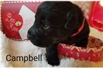 Picture of AKC CAMPBELL
