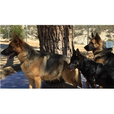 View full profile for Smoking Gun Ranch German Shepherds
