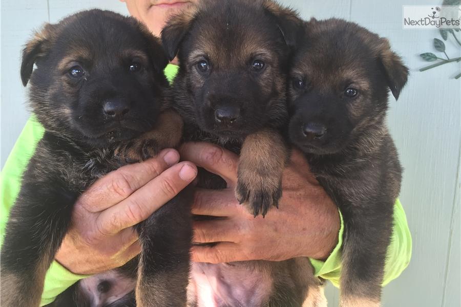 Female: German Shepherd puppy for sale near San Diego