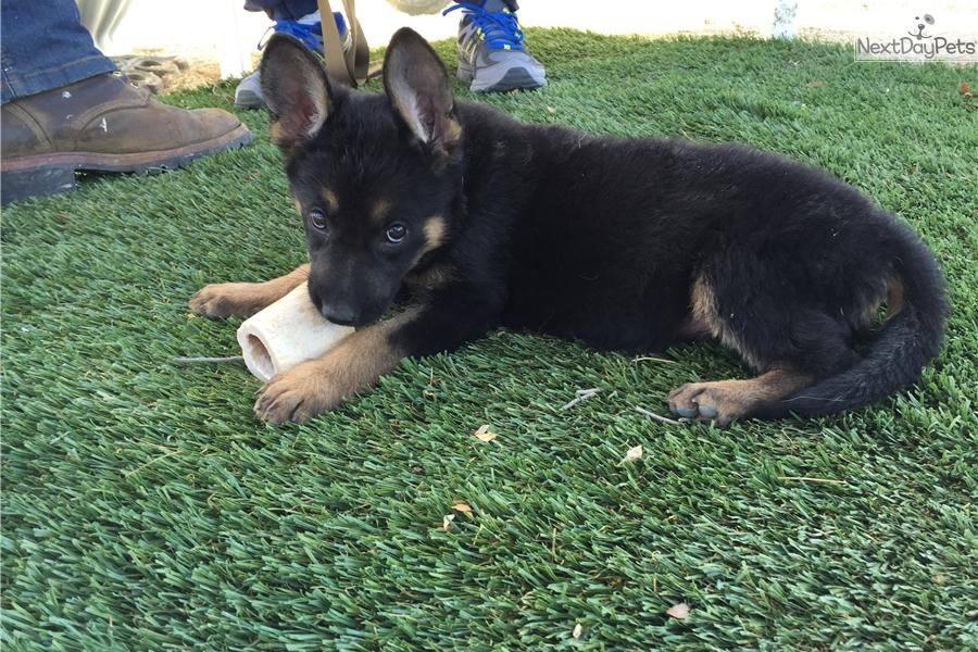 German Shepherd puppy for sale near San Diego, California