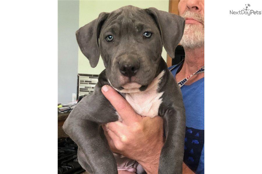 Blue Boy: American Pit Bull Terrier puppy for sale near ...