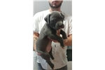 Picture of Blue Champagne Pit Bull Puppies
